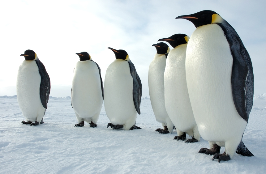 Six_Emperor_Penguins